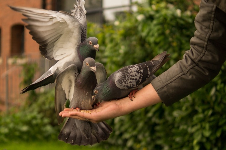pigeon-943273_1280