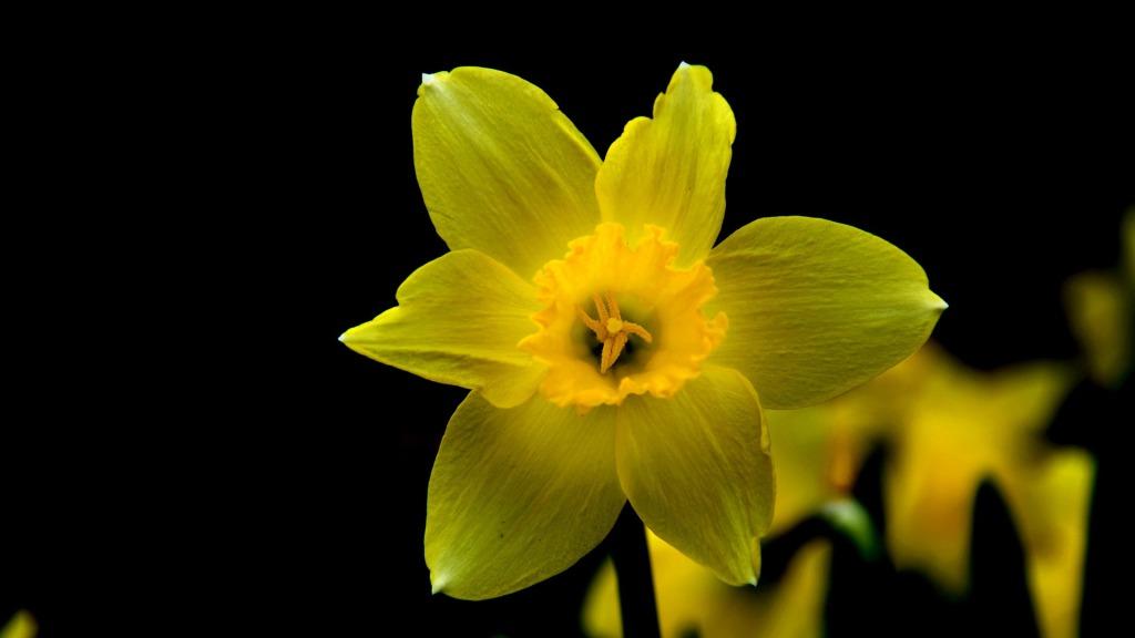 daffodil-699969_1920